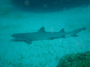 exmouth-reef-shark